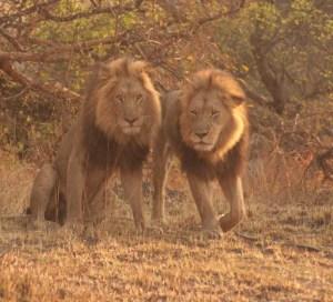 Lions Kafue National Park